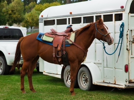 quarter horse: Beautiful and proud horse waiting for its turn at the events