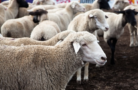 Profile of a sheep standing in front of its herd waiting to participate in the Mutton Busting event at the North Idaho Fair.
