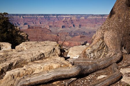 se cramponner: A trees exposed roots cling to the rocks on the edge of the Grand Canyon
