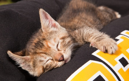 After playing with its littermates, a cute and fuzzy baby kitten takes a nap on its new mommys lap. Stock Photo