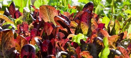 loose leaf: La lechuga de hojas sueltas de color rojo y verde que crece en un jard�n del patio trasero iluminado por el sol de la tarde.