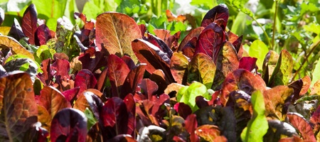 Red and green loose leaf lettuce growing in a backyard garden illuminated by the  afternoon sun.