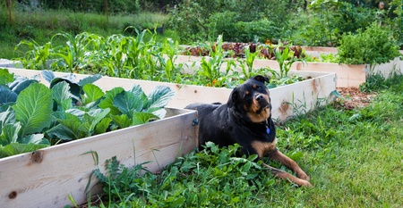 A female rottweiler strikes a pose in the sun next to a garden growing in raised beds.