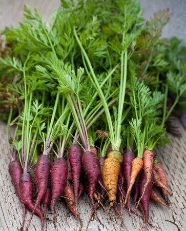 Rainbow carrots just picked from the garden, with dirt residue and green tops, laying on a wooden surface.