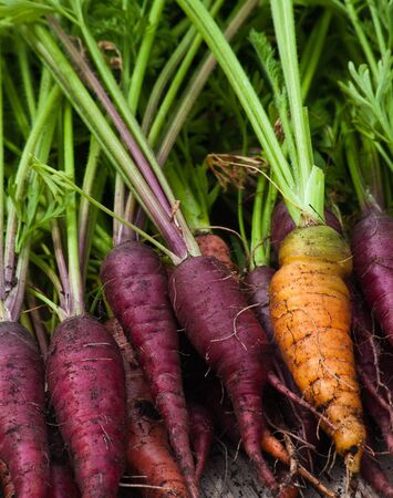One orange carrot among a bunch of purple carrots that have just been pulled from the garden with the greens still attached. Archivio Fotografico