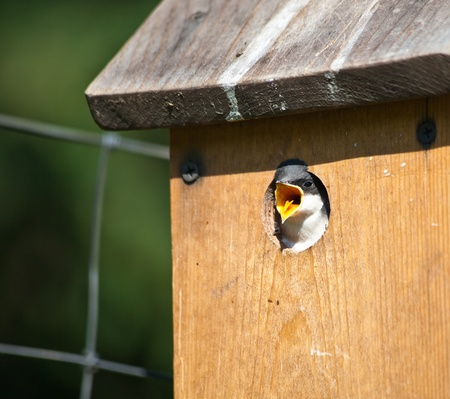 A baby swallow framed by its birdhouse, has its mouth open and tongue out waiting for its parents to bring breakfast. photo