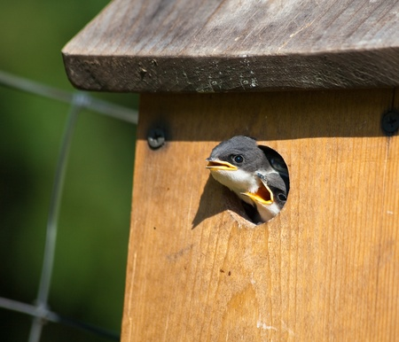 Two baby swallow birds peek out of their birdhouse hole waiting for their parents to bring them breakfast in the morning sunshine. photo