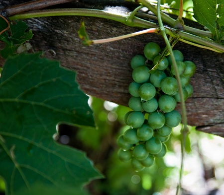 A bunch of green grapes are shaded from the afternoon sun by its vines and trellis while a drop of water clings to one in focus grape. photo