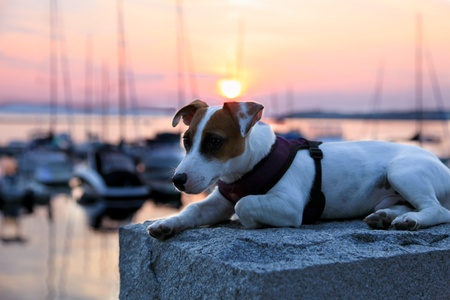 A white and brown Jack Russel terrier dog poses on a rock pillar with a pastel sunset and a blurred sailboat marina background. Stock Photo - 11583096