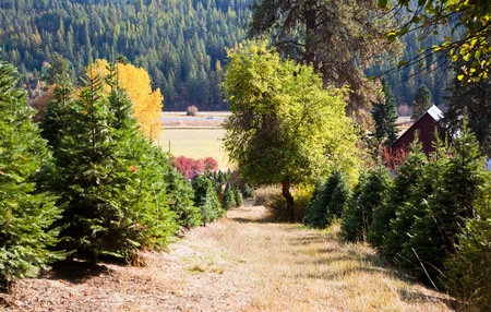 Looking down hill at a pathway through a Christmas tree farm in the fall with a barn, meadow and forest in the background. Stock Photo