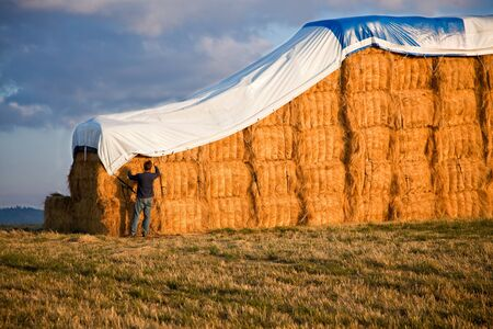 A young man secures a tarp over giant hay bails lit from the side by the late afternoon sun with a storm cloud moving in behind.