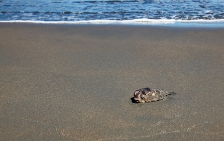 A dead puffer fish washed up by a wave on a clean sandy beach in Costa Rica. photo