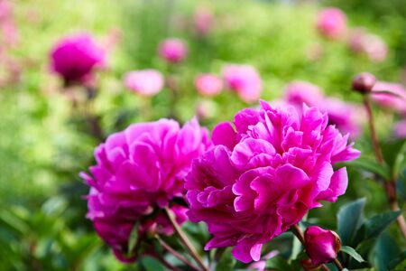 Brilliant pink peony flowers in an English countryside garden with a blurred background. Stock Photo