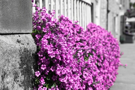 A patch of small pink flowers overflow a fenced garden growing down a curbside to the sidewalk with a desaturated background. photo