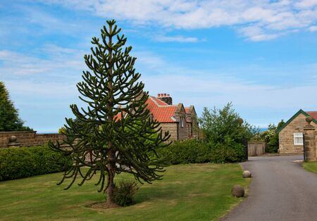 A monkey puzzle tree with spiky leaves gives contrast to its surrounding of a well manicured yard and driveway. photo