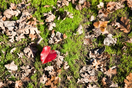 decomposition: A single red heart shaped leaf on the ground among newly sprouting grass and several dry brown leaves.