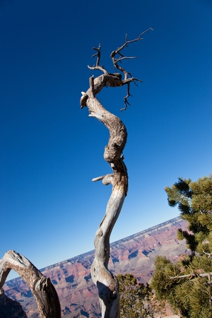 A twisted decomposing dead tree stands against a blue sky background with a tilted Grand Canyon cliff. photo