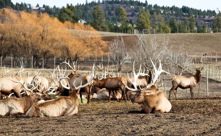fenced in: Worley, ID - November 25: A herd of trophy bull elk eat hay and rest in a fenced in area at the elk ranch in Worley, ID.