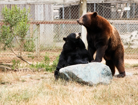 A black bear sits upright with its front paws on a large rock looking at a brown bear stands on its back legs with its front legs on the same rock. Imagens