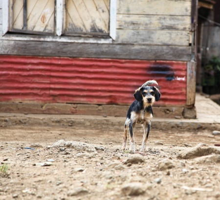 A watchful small rural dog stands ready to protect its owners tin and wooden slat home in Costa Rica