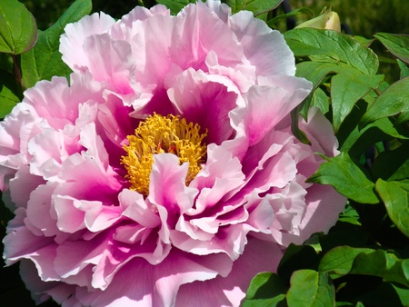 Close up of a pink Japanese Peony flower in full bloom on the tree with surrounding green leaves  photo
