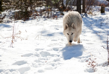 An Arctic wolf with her head low against the snow picking up scents for the hunt in a North Idaho forest. photo