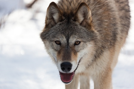 A close up of a wolf who is half Timber and half Arctic who seems to be smiling. photo