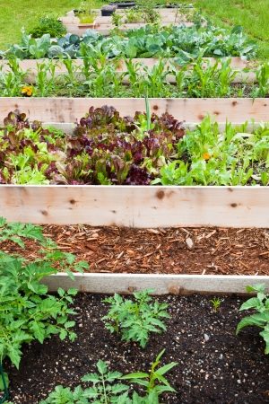 A row of raised beds made of wood boards create a vegetable garden filled with young plants.