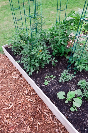 Young healthy tomato plants growing up vertical supports in a raised vegetable garden. photo