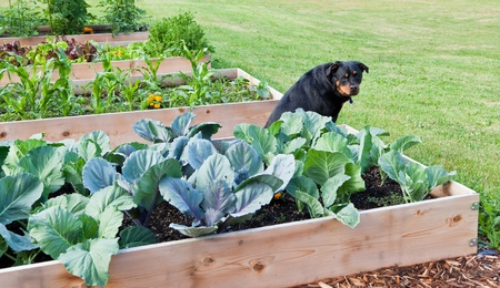 A female Rottweiler sitting amongst a row of raised vegetable gardens with a questioning look.