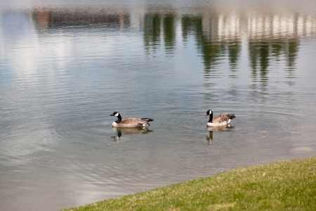Two Canadian geese in the water at the edge of a pond with a grassy shore close to their eggs. photo