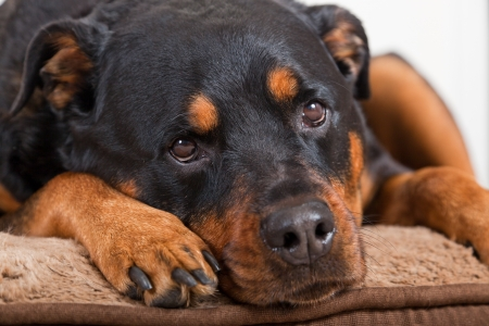 A close up of a female Rottweiler with a soft or almost sad look laying on her bed.