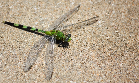 A bright green dragonfly rests on a sandy beach in Costa Rica in the sunshine. photo