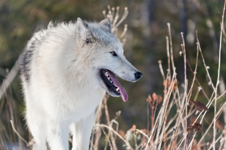 Profile of a young Arctic wolf, panting and looking into the distance, surrounded by tall grasses. photo