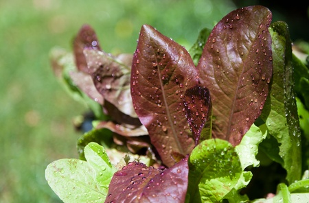 Red and green leaves of mixed types of lettuce with water drops lit by sunshine. Imagens