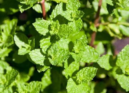Helder groene tips van een groene munt plant in de zon. Stockfoto - 14462999