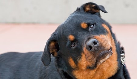 A black and brown female Rottweiler cocks her head and lifts her ears to listen while looking directly at the camera.