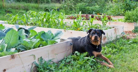 A female Rottweiler with a watchful expression lays between raised garden beds full of young healthy plants. Stockfoto