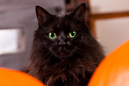 A fluffy black cat with green eyes posing between two pumpkins for Halloween.