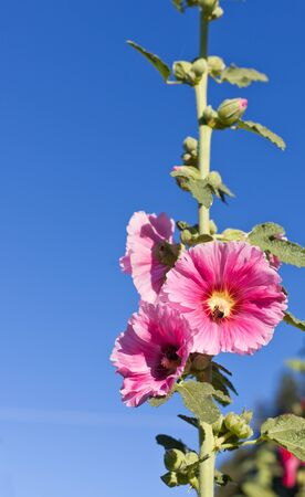 Bright pink hollyhock blooms on a tall green stock with a bumble bee in the middle of a flower. Stock Photo - 15309923