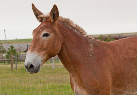 A brown mule who recently rolled in mud and dirt stands for a profile picture on the farm. Stock Photo - 15390334