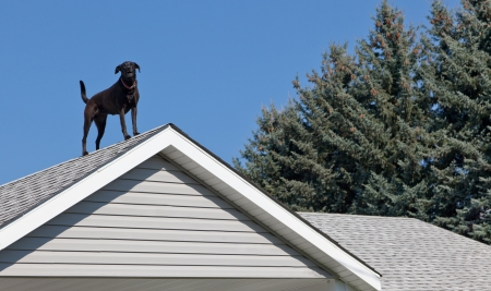A black lab dog standing on top of his owners house barking to let everyone know he is on guard duty. Imagens