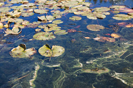 End of season water lily pads float in shallow water with trails of scum on the surface. Stock Photo - 15822653