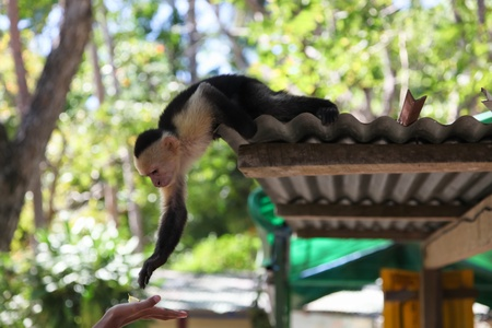 A small black and white spider monkey reaches down to a human hand holding a piece of apple from his perch on a tin roof. photo