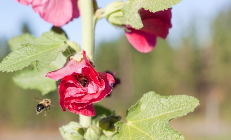 A tired bumble bee dusted with pollen is resting inside of a pink hollyhock bloom as another bee hovers near by. Stock Photo - 16156555