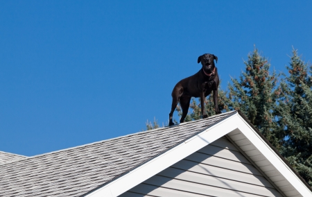 A black lab barking from the peak of the roof of his owners house providing security.