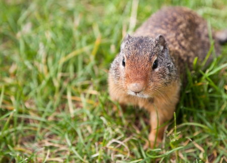 A curious ground squirrel looking for food walking in the grass. Focus on face with blurred background.