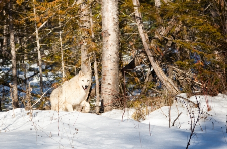An artic wolf walking out of the woods into a clearing in the sunshine in winter. photo