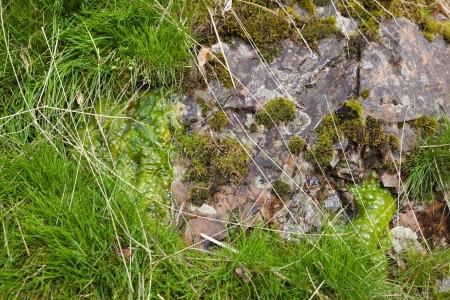slimy: A group of slimy green frog eggs stay moist by a small stream in a rock surrounded by vibrant green grass.