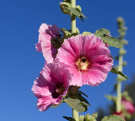 Bright Pink Hollyhock blooms on a tall stem in the afternoon sun against a deep blue sky. Stock Photo - 17034686